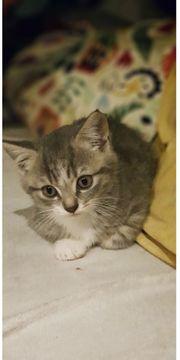 BKH Katzenbaby sucht neues Zuhause