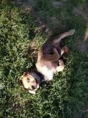 Welpen Labrador Rottweiler