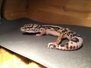 3 Leopardgeckos mit Terrarium 120x50