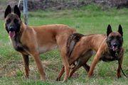 Belgischer Schäferhund Malinois Welpen zu