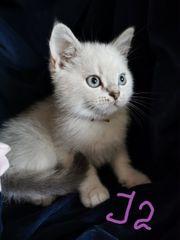 BKH Kitten mit Stammbaum Seal-Silvershaded-Point