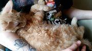 Katzenbaby Sphynx und sibirische