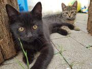 BKH Britisch Kurzhaar Mix Babykatzen