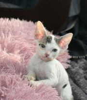 candien sphynx kitten