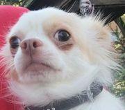 Chihuahua Mädchen mit Ahnentafel