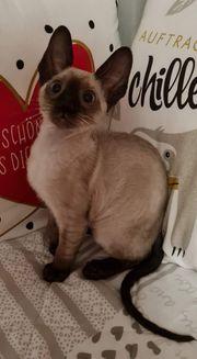 Cornish Rex reinrassige Kitten Geschwisterrabat
