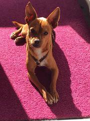 Verspielter verschmuster gehorsamer Chihuahua-Pinscher-Mix 2