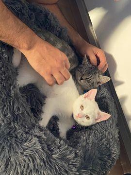 Bezaubernde Katzengeschwister: Kleinanzeigen aus Obertshausen - Rubrik Katzen
