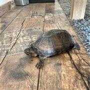 Rotwangen Klappschildkröte