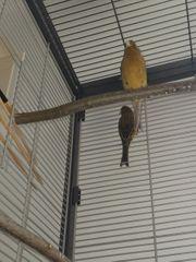 Kanarienvögel schwarz gelb