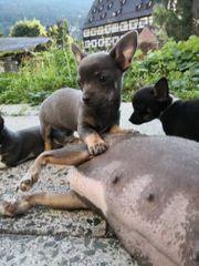 Süße reinrassige Chihuahua Welpen suchen