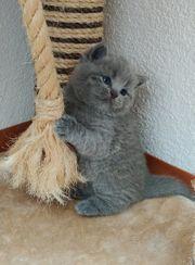 BKH Kitten britisch Kurzhaar blue