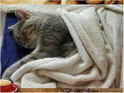 BkH Katze mit Stammbaum