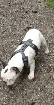 Französische Bulldogge reinrassig männlich Ahnentafel