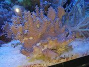 Fingerlederkoralle Weichkoralle Meerwasser 5cm - 20cm