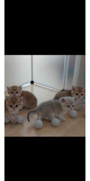 Goldene BKH Kitten