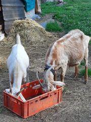 Ziegen aus Hobbyzucht