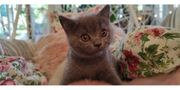 Britisch Kurzhaar Katzenbaby Kitten