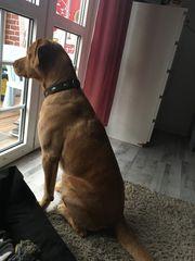 Labrador Deckrüde Sam sucht seine