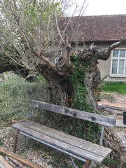 Olivenbaum Gigant