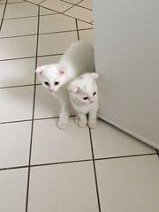 Kätzchen und Katze zu verkaufen