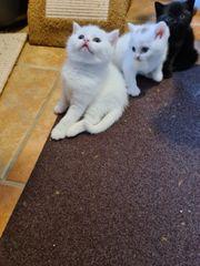 BKH Kitten mit Stammbaun