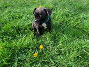 Reinrassige französische Bulldogge Welpe