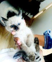 Heilige Birma Kitten dürfen ausziehen