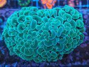Größte Auswahl an Korallen - Steinkorallen