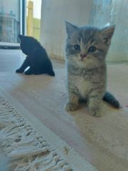 Reinrassige Bkh kitten letzten 2
