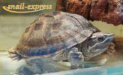 Sternotherus odortaus - Moschusschildkröten