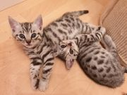 BKH Bengal Mix Kitten Katze