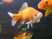 Goldfische Sarasa Goldfische Jungfische