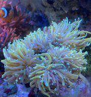 verschiedene Sorten Euphyllia Korallen Korallenableger