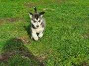 Malamute-siberian Husky