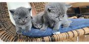 2 bkh kitten suchen noch