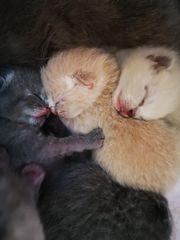 BKH Kitten Kater beige reinrassig