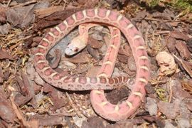 Reptilien, Terraristik - 1 0 Scaleless het Caramel