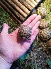 Russische Landschildkröten 1 2 Jahre