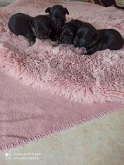 4 Chihuahua Welpen