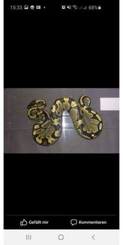 4 python regius