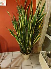 Pflanze superschön - Sansiverie gelb- grün