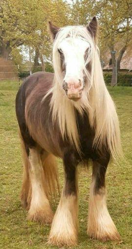 Silver Dapple Irish Cob Deckhengst: Kleinanzeigen aus Perlin - Rubrik Pferde