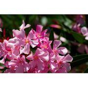 Nerium Oleander - Oleanderpflanze - Verschiedene Farben