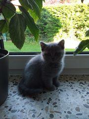 Sofort Abholbare BKH Kitten