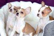 Wunderschöne und gesunde Chihuahua Weibchen