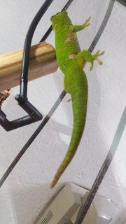 Madagascar taggecko Weibchen Gecko