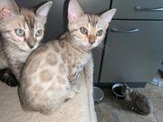Bengal Kitten in tollen Farben