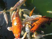Koi Gruppe 3 Fische 1