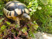Breitrandschildkröte Testudo marginata Freilandhaltung
